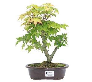Bonsai de Acer Palmatum 5 Anos ( 30 cm)
