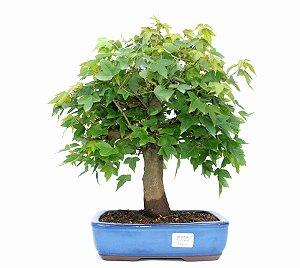 Bonsai de Acer Kaede 14 Anos ( 40 cm)
