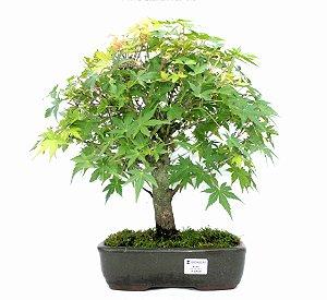 Bonsai de Acer Palmatum 15 Anos ( 45 cm)
