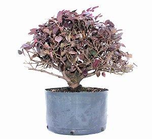 Pré Bonsai de Loropetalum 5 anos (35 cm) Hamamélis