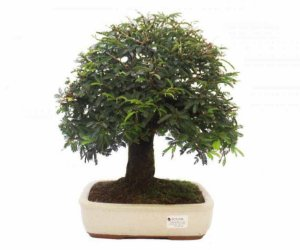 Bonsai de Calliandra Rosa  15 Anos ( 40 cm )