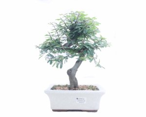 Bonsai de Calliandra Rosa  08 Anos ( 35 cm )