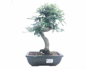 Bonsai de Calliandra Rosa  07 Anos ( 30 cm )