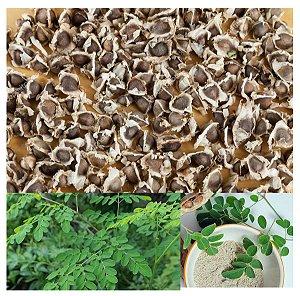 250 Semente de Moringa Olifera Frete Gratis