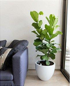 Ficus Lyrata  em vaso de cimento