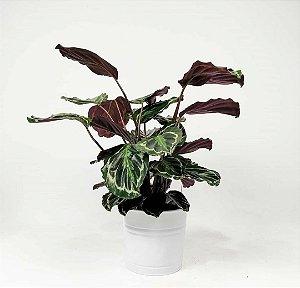 Planta Calathea Com Um Vaso Decorativo