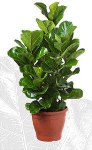 Fícus Lyrata (Sem Vaso Decorativo)