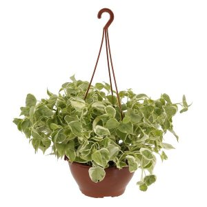 Peperomia scandes