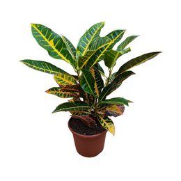 Croton hibrido petra - Pote 17