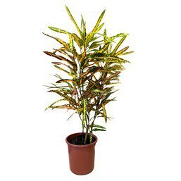 Croton gold glow - Pote 24