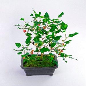 Bonsai jovem frutifera