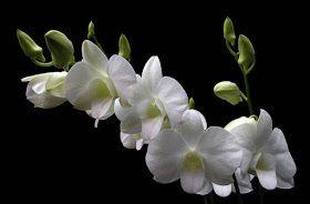 Denphal Nigara White (denphal branca)