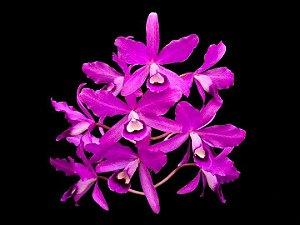 Guarianthe Bowringiana (Cattleya Bowringiana)