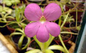 Planta Carnivora: Pinguicula Aphrodite