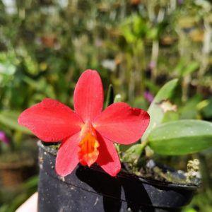 Cattleya mantiqueirae