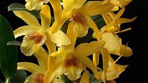 Dendrobium Stardust 'Chiyomi'