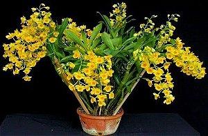 Dendrobium Chrysotoxum
