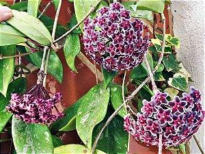 Hoya Publicalyx Red Button (flor de cera negra)