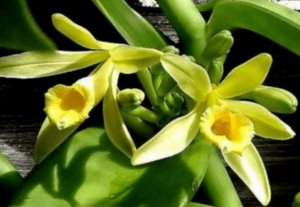 Orquidea Baunilha (Vanilla planifolia)