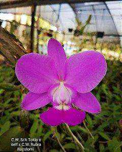 Cattleya Walkeriana S/A Tokyo x Self x CW Rubra Itacolomi
