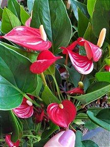 Micro Antúrio var. Million Flowers (Vermelho)