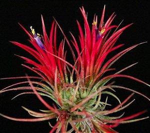 """Bromelia Tillandsia Ionantha Red """"Fuego"""""""