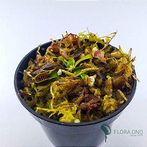 Dionaea Muscipula B52 - Muda (Pequeno)