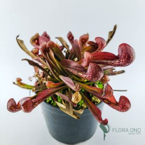 Sarracenia Psittacina - Adulto
