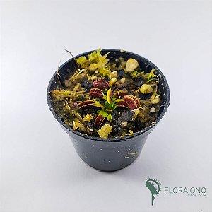 Dionaea Muscipula La Grosse à Guigui - Muda (Pequeno)