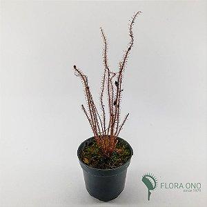 Drosera Filiformes 'Red' - Adulto