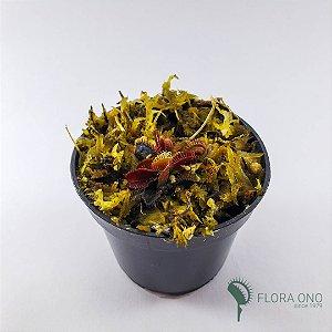 Dionaea Muscipula Tipica - Muda (Pequeno)