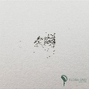 20 Sementes de Droseras Burmannii Hong Kong