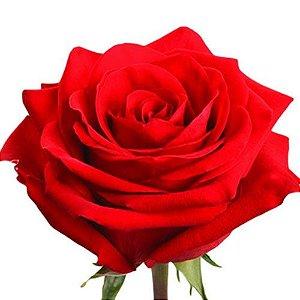 Rosa Colombiana Importada Vermelha - Unidade