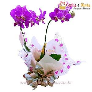 Orquídea Phalaenopsis Pink Plantada