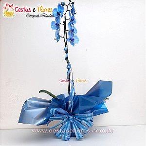 Orquídea PHALAENOPSIS Blue Mystique