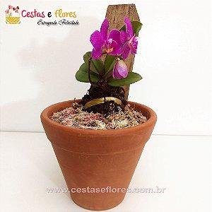 Orquídea PHALAENOPSIS MINI Vaso de Barro