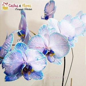 Orquídea PHALAENOPSIS AZUL Vaso Vintage