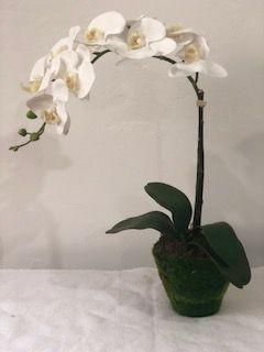 Orquídea phale branca vaso musgo
