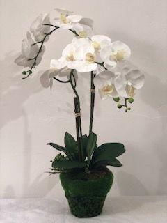 Orquídea phale dupla branca vaso de musgo