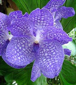 Vanda Sansai Blue - Flores Enormes - Raiz Aérea