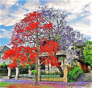 Muda de Árvore do Fogo Illawarra - Florada Vermelha Magnífica