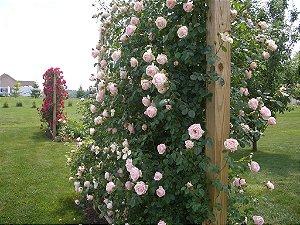 """Rosa Trepadeira """" NEW DAWAN"""" cores Mescladas Branco e Rosa"""