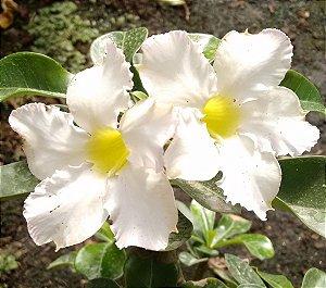 Rosa do Deserto Branco Intenso