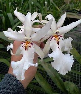 Orquídea Beallara Branca de Flores Grandes - Adulta