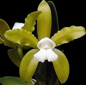 Orquídea Cattleya Guttata Alba - Espécie