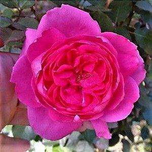 "Rosa trepadeira ""Eden Deep Pink"" de Flores GRANDES"