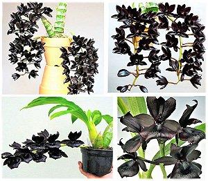 "Kit 2 Mudas de Orquídeas Negras RARAS - MONNIERARA MILLENNIUM MAGIC 'WITCHCRAFT' + FREDCLARKEARA AFTER DARK ""SVO BLACK PEARL"" FCC/AOS"