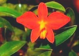 Orquídea Sophronits coccinea