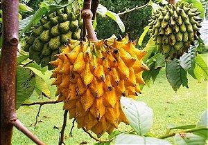 Mudas de Beribá Amarelo - Polpa Deliciosa e Suculenta