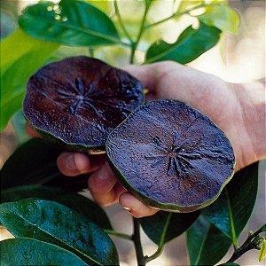 Mudas de Sapota preta ou Fruta Pudim de Chocolate